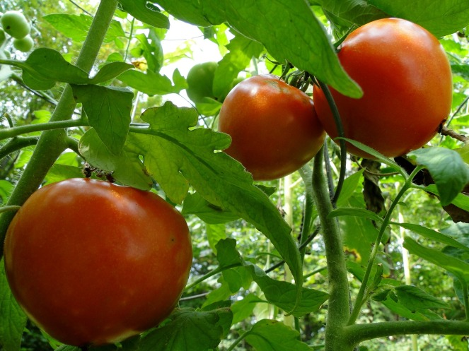 tomatoes-101845_1920